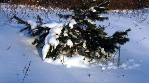 В поисках елки