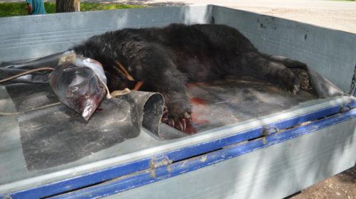 Медведь зашел в курятник